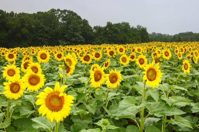 Field of tall annual yellow sunflowers grown for beauty as well as harvested for seed in an outdoor field in Poolesville, Maryland.