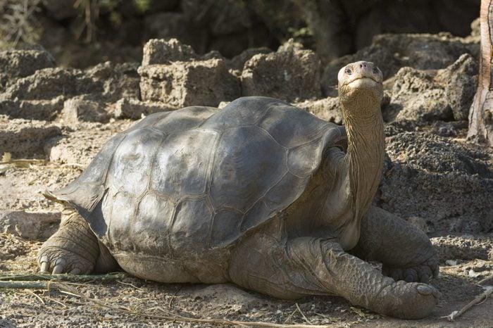 VARIOUS Pinta Island Tortoise (Geochelone nigra abingdoni), 'Lonesome George', last specimen, Charles Darwin Reserve Station, Santa Cruz Island, Galapagos-Islands, Pacific