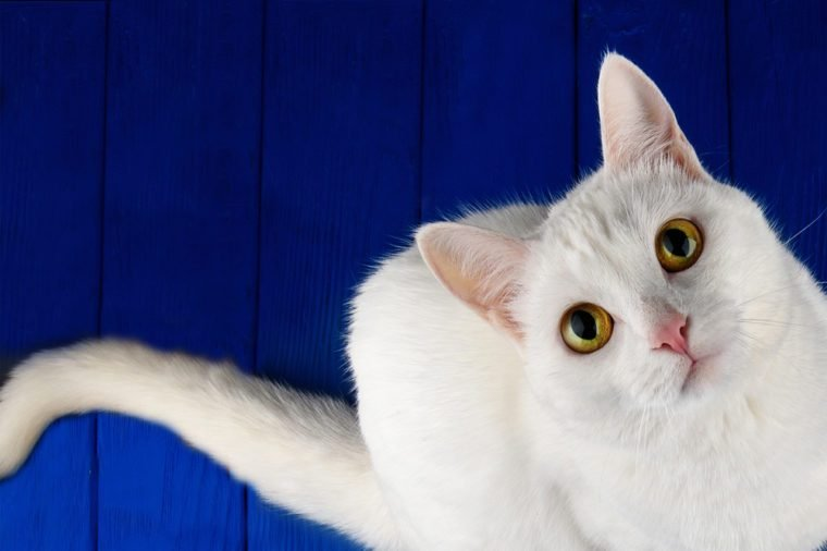 White cat with yellow eyes sitting near an empty bowl on a blue wooden background