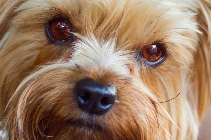 portrait of a cute Yorkshire terrier with bright brown eyes closeup of a concept of cute and domestic animals