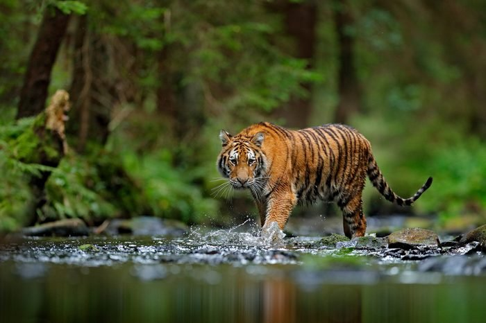 Amur tiger walking in the water. Dangerous animal, taiga, Russia. Animal in green forest stream. Grey stone, river droplet. Wild cat in nature habitat.