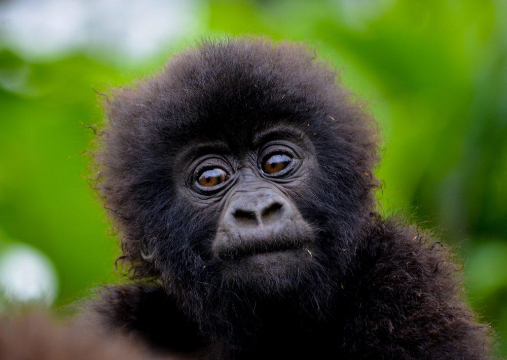 Cute baby gorilla in the Rwanda forest