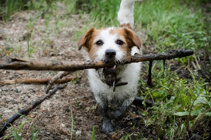 MUDDY DIRTY JACK RUSSELL DOG WITH A STICK IN MOUTH IN A MUD PUDDLE