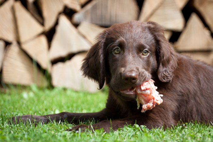 Flat Coated Retriever puppy eats a chicken carcass
