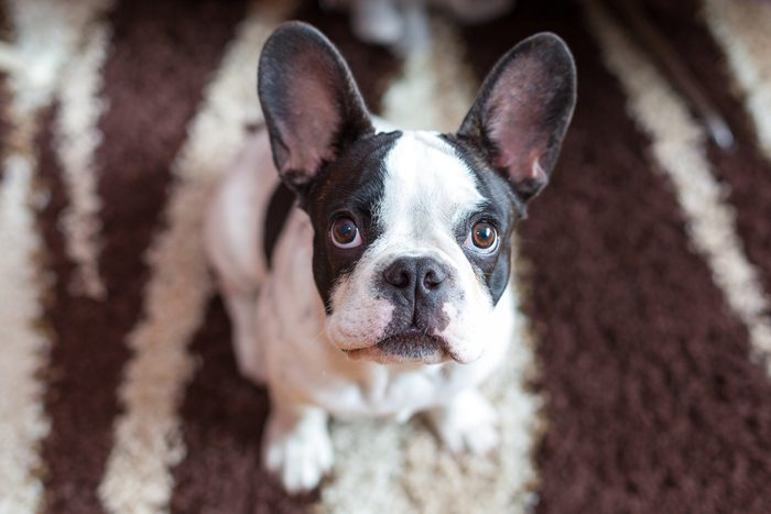 French bulldog puppy on the carpet