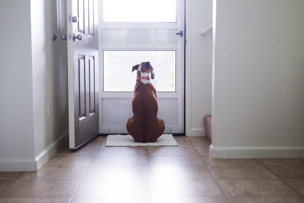 Boxer canine looks through screen door while waiting for something.