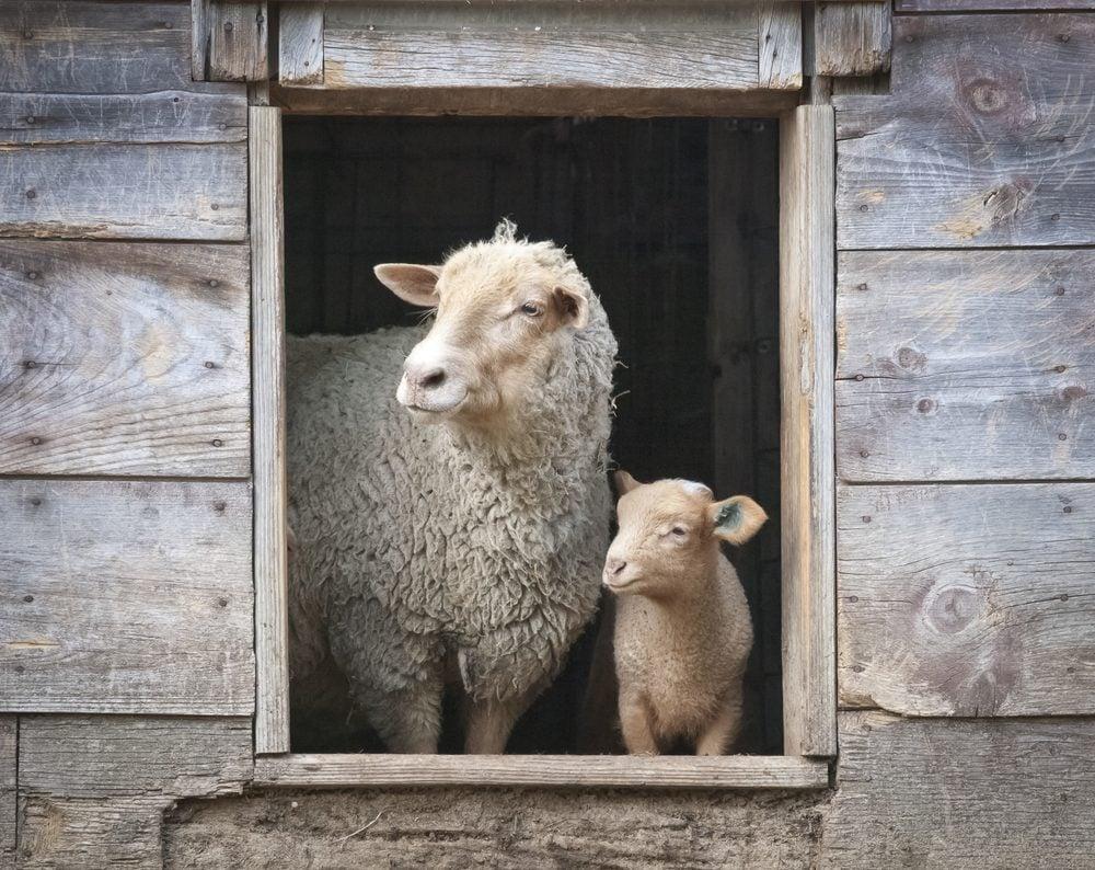 Sheep and Small Ewe in Wooden Barn Window