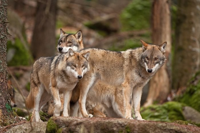 gray wolf, grey wolf, canis lupus