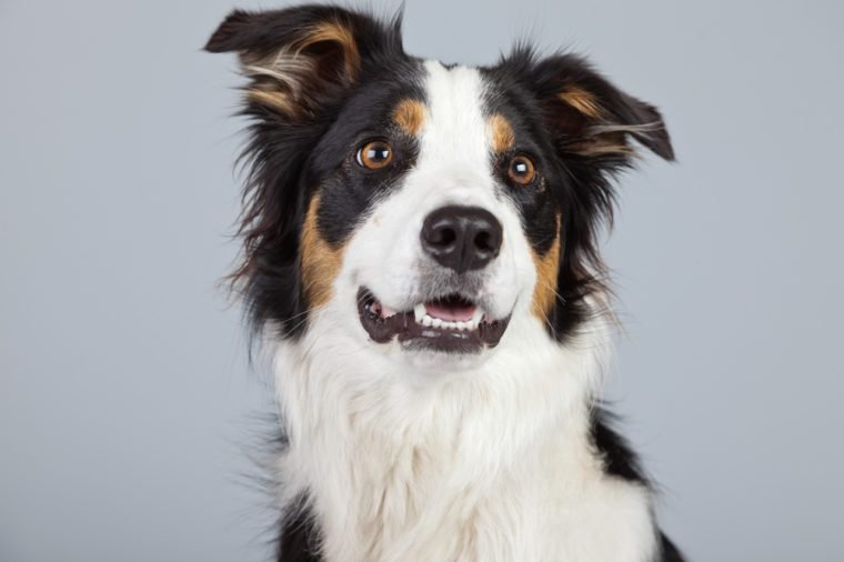 Border collie dog black brown and white isolated against grey background. Studio portrait.