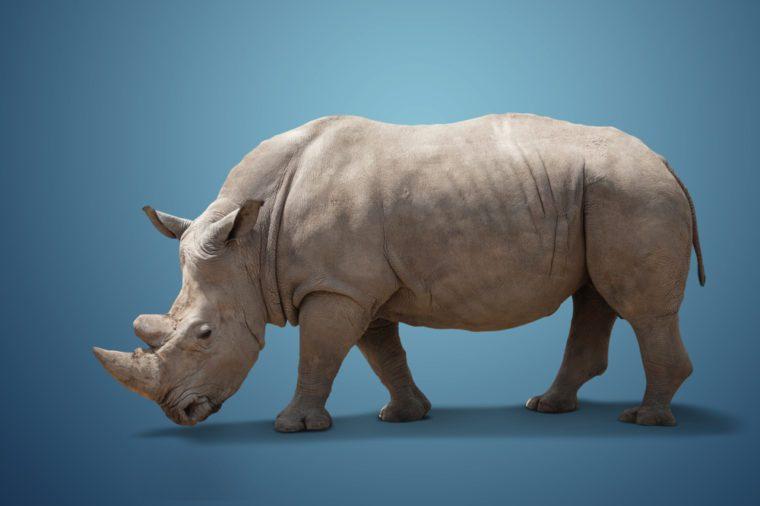 beautiful big adult rhinoceros poses, rare animal