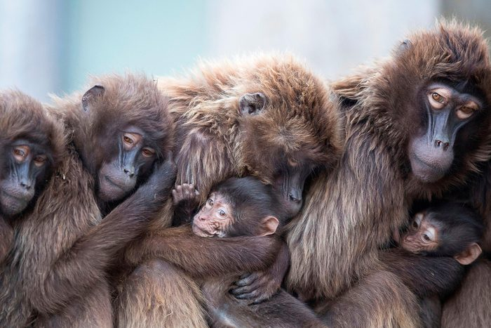 Baboons cuddling