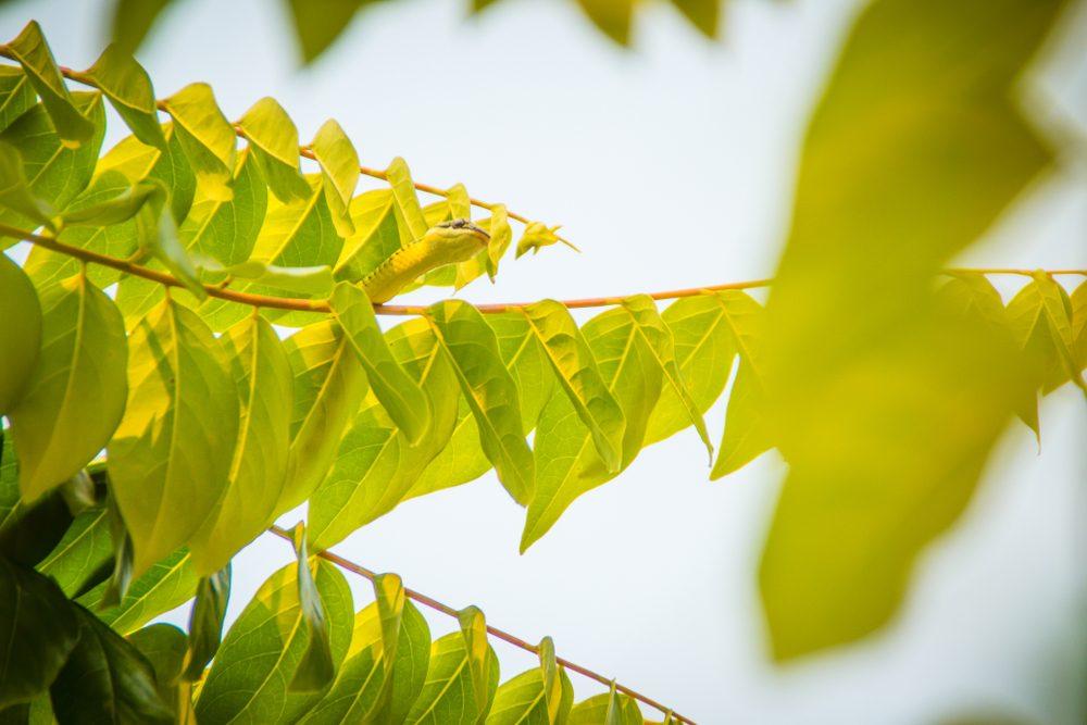 Cute golden tree snake (Chrysopelea ornata) is slithering on green tree. Chrysopelea ornata is also known as golden tree snake, ornate flying snake, golden flying snake, found in Southeast Asia.