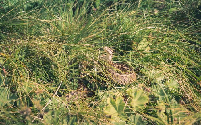 Mountain snake hidden in grass while watching for dangers