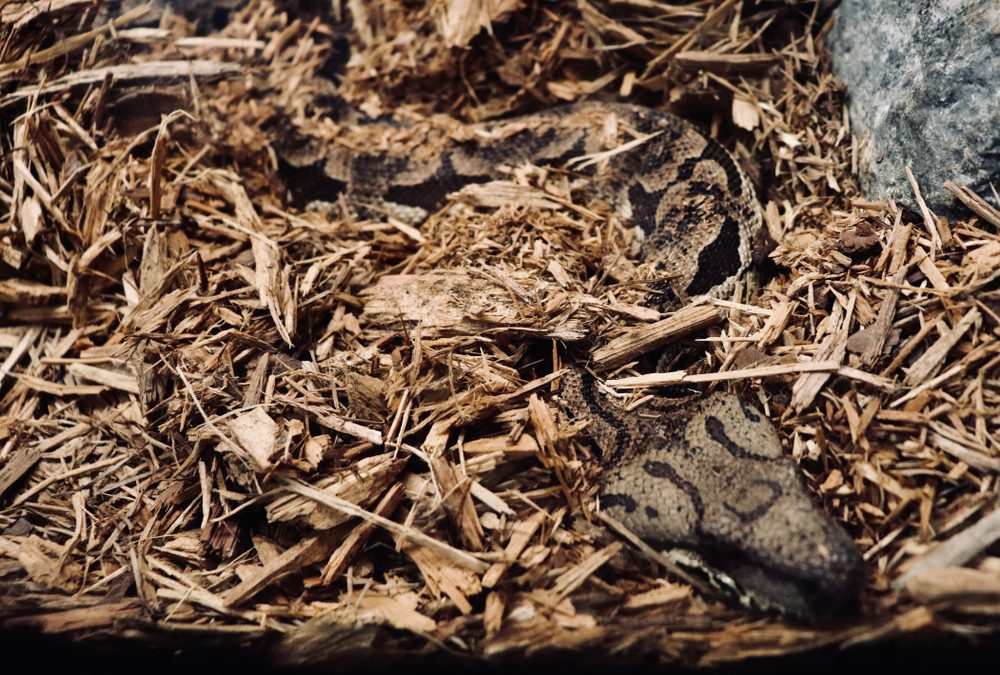 Snake slithering on the ground hidden in mulch