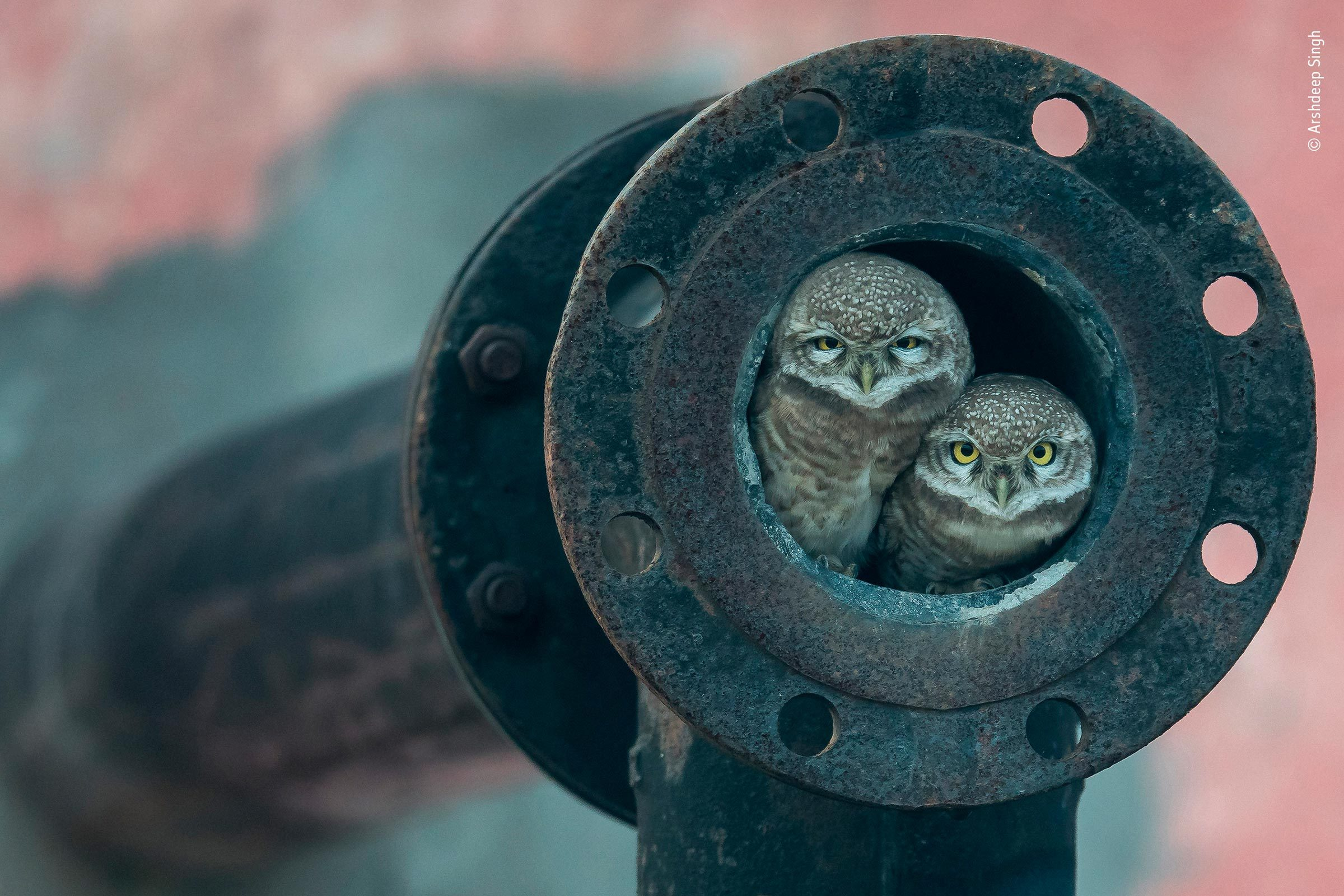 Owls in pipe