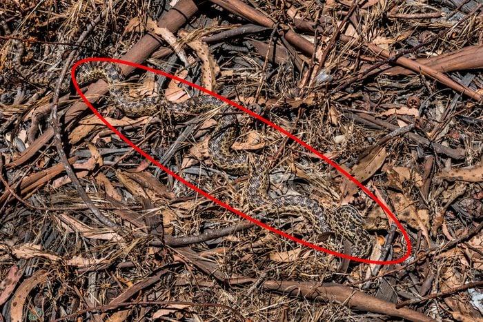 Snake in sticks