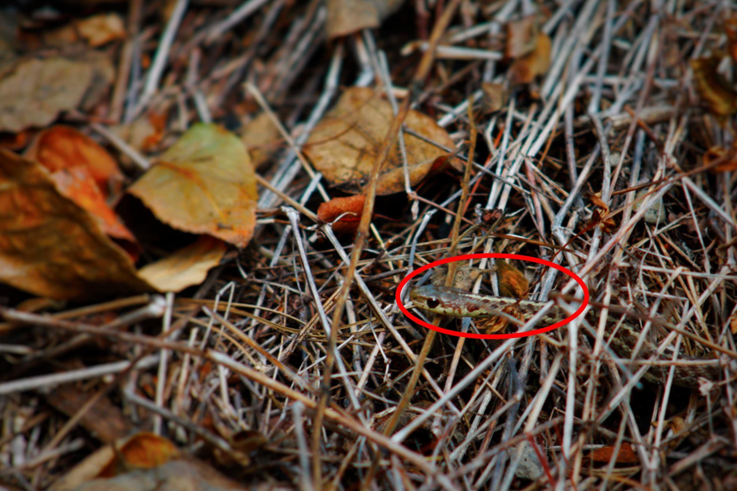 Snake in twigs
