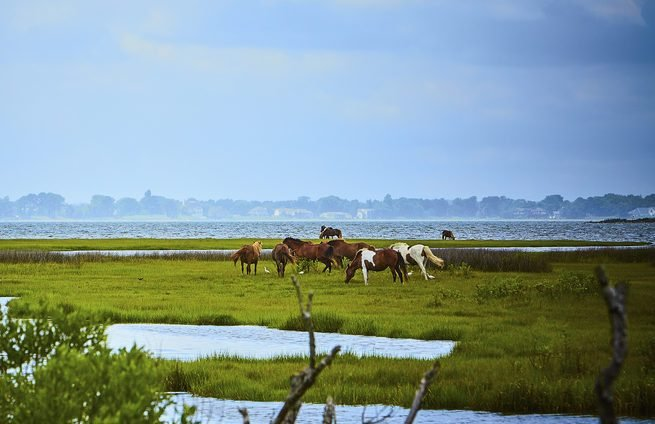 Wild horses of Assateague Island in Maryland