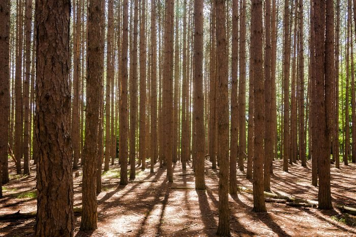 """Looking at a stand of tall pine trees. Located at Oak Openings Ohio at a place known as """"The Spot""""."""
