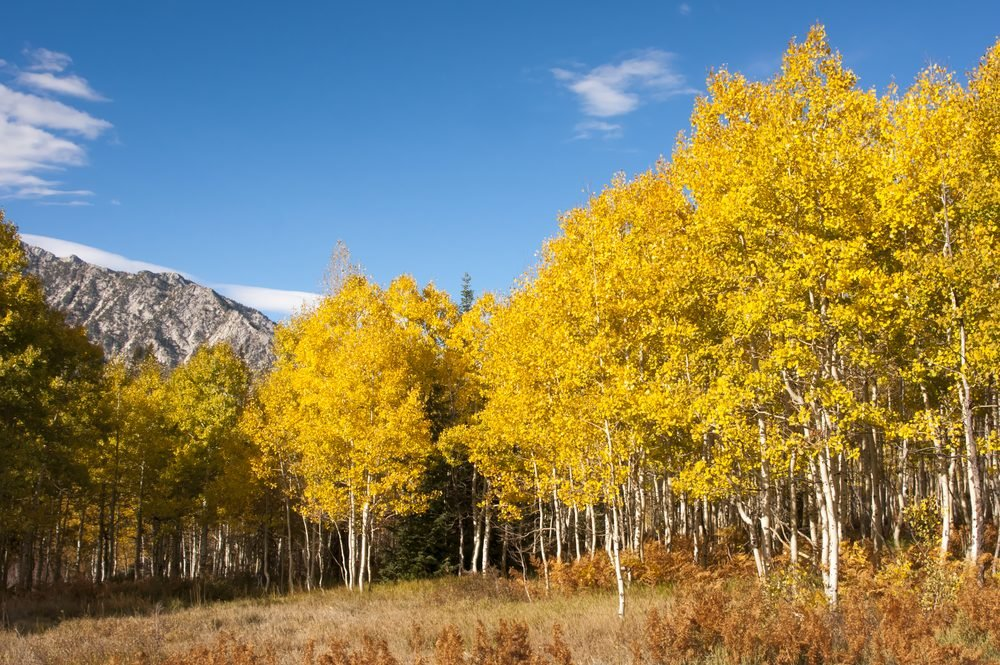 Aspen grove in fall, yellow leaves with mountains and blue sky in the background