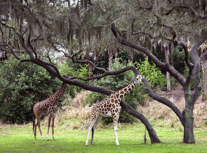 Two giraffes walking in animal kingdom park