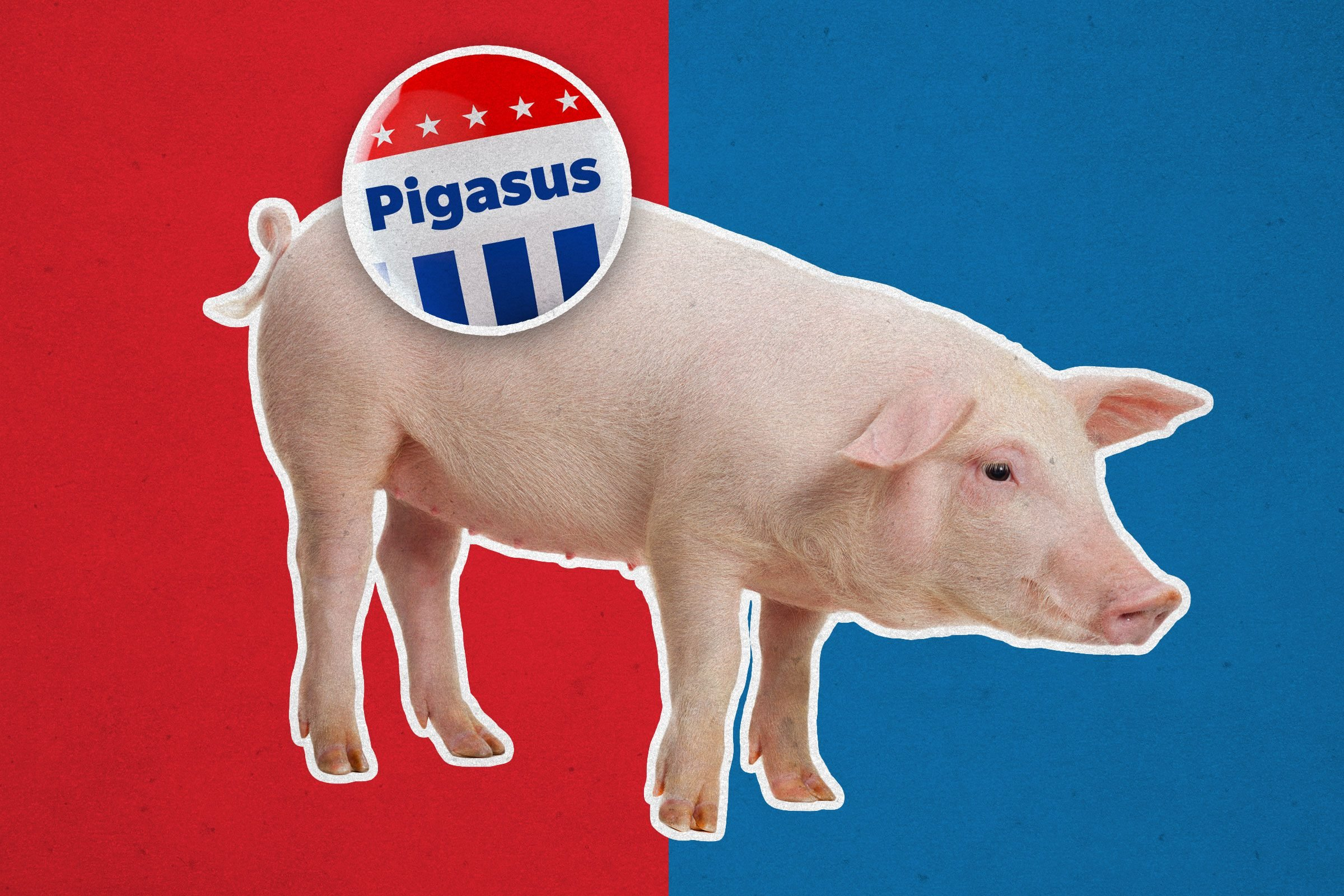 Pig with campaign button