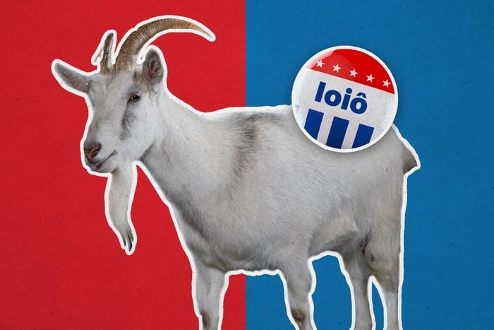 Goat with campaign button