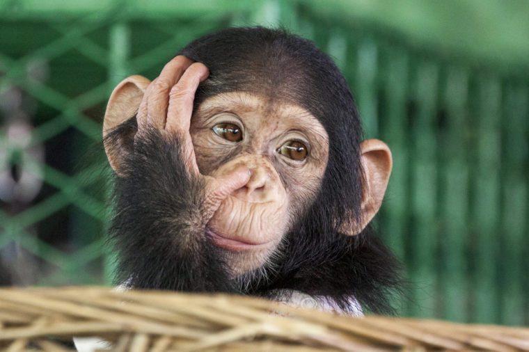 Chimpanzee face