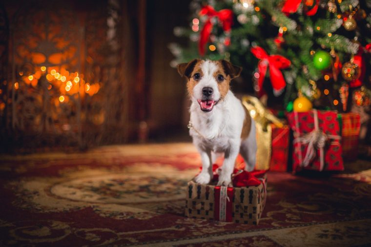 Dog Jack Russell Terrier. holiday, Christmas