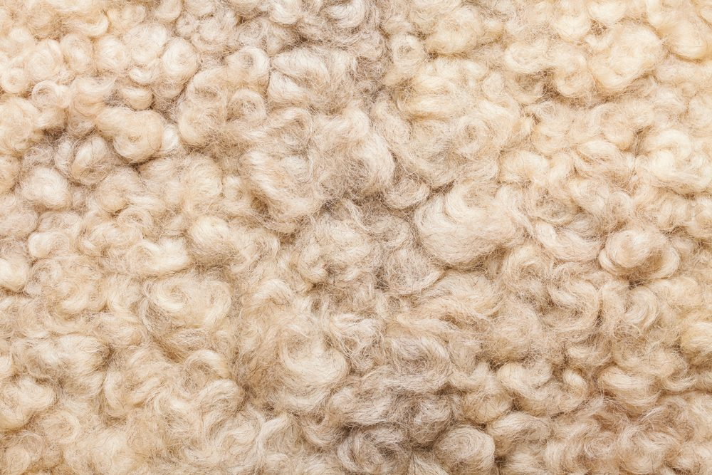 Sheep fur. Wool texture. Closeup background