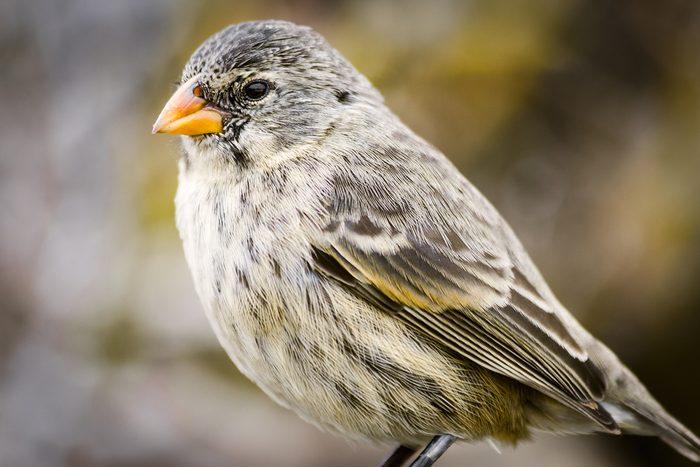 Galapagos or Darwin's Finch (Geospizinae), Santa Cruz Island, Galapagos, Ecuador