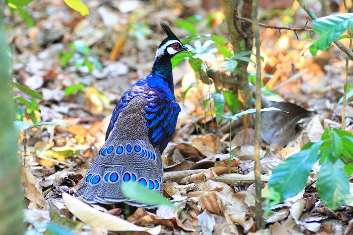 Palawan Peacock-Pheasant (Polyplectron napoleonis) in Palawan Island, Philippines