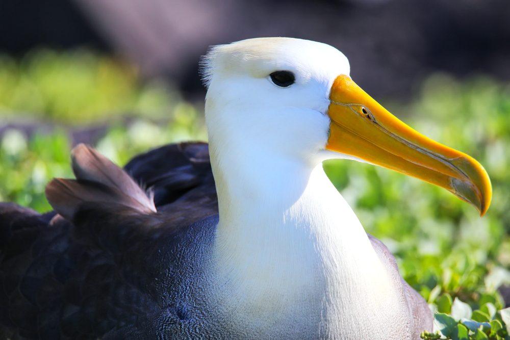 Portrait of Waved albatross (Phoebastria irrorata) on Espanola Island, Galapagos National park, Ecuador. The waved albatross breeds primarily on Espanola Island.
