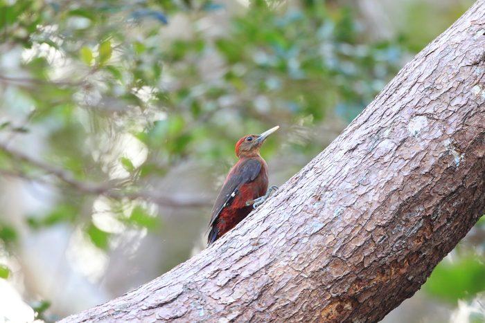 Okinawa Woodpecker (Sapheopipo noguchii) in North Okinawa, Japan
