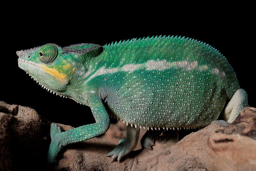 Chameleon, green chameleon, chameleon in studio