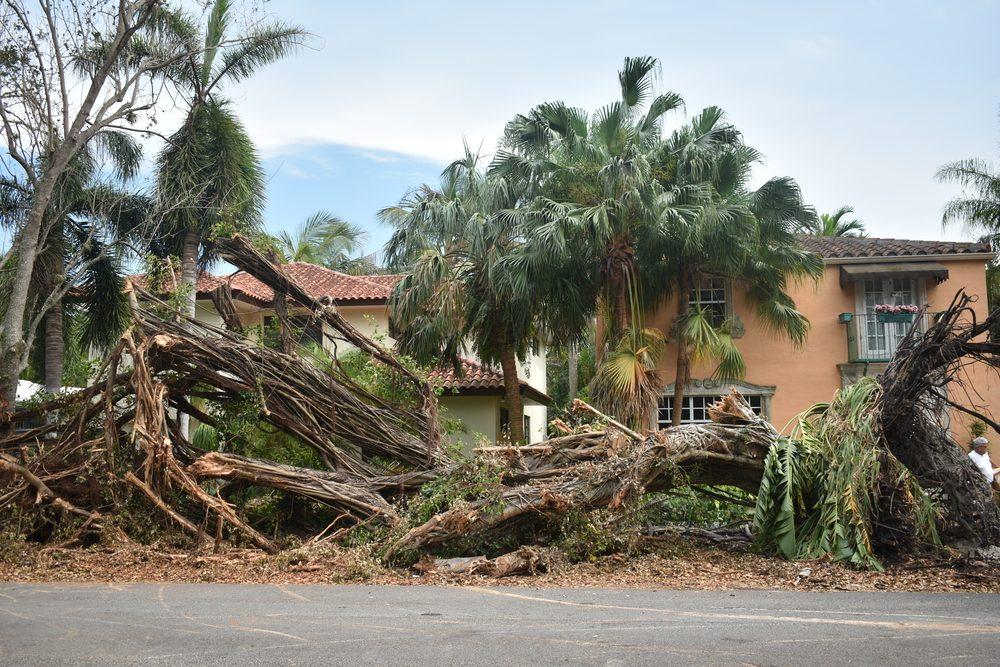 Down banyan tree in Miami Florida by hurricane Irma