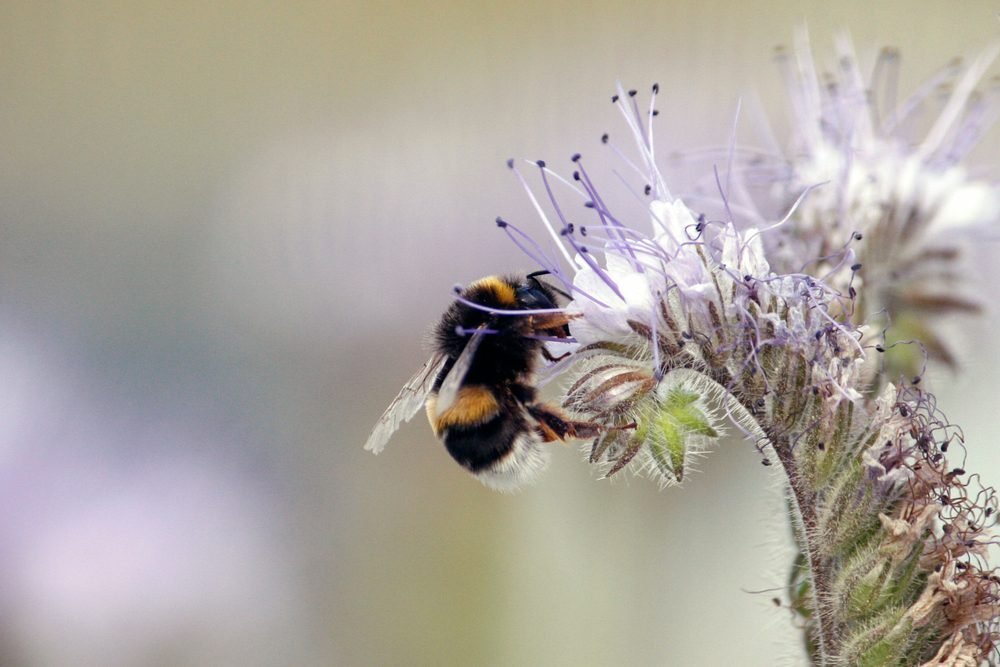 Bumblebees are a widely distributed social insects known for their ability to collect nectar from flowers and pollinate plants. Bumblebees are large yellow and black flying insects with a unique buzz.