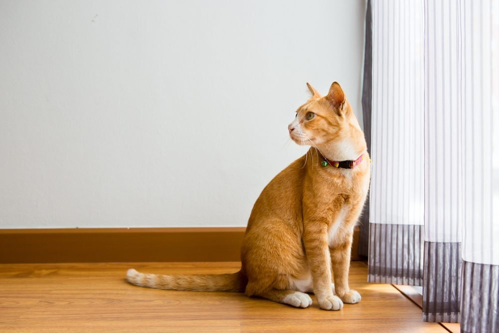 Ginger Cat with collar sitting in the room
