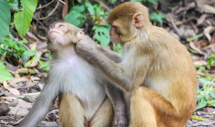 monkey cleaning another monkey