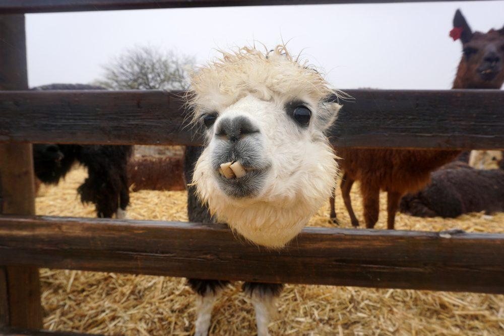fanny alpaca farm in Mitzpe Ramon. Israel