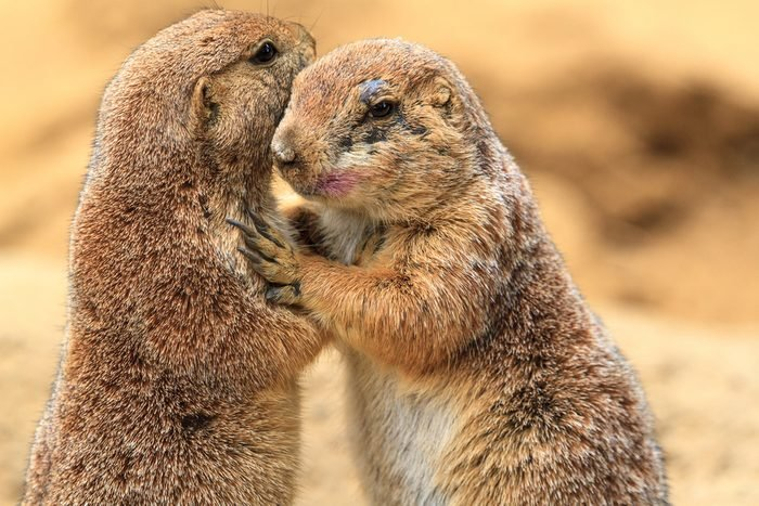A couple of prairie dogs hugging