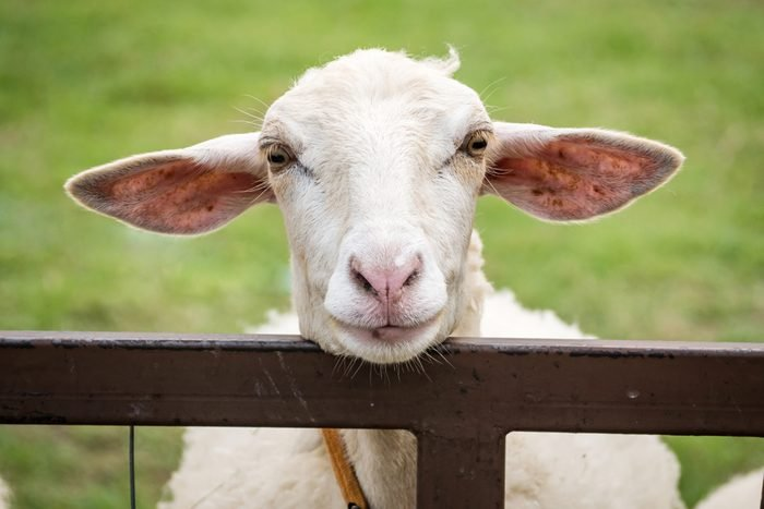 Funny Animal,Little sheep smile on the green grass then look happy.