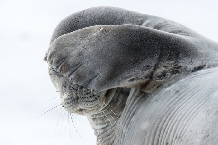 Weddell Seal (Leptonychotes weddellii) - No More Photos