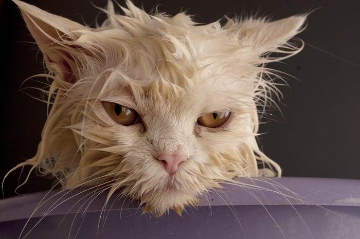 Dirty wet cat