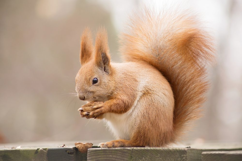 red squirrel eating a walnut