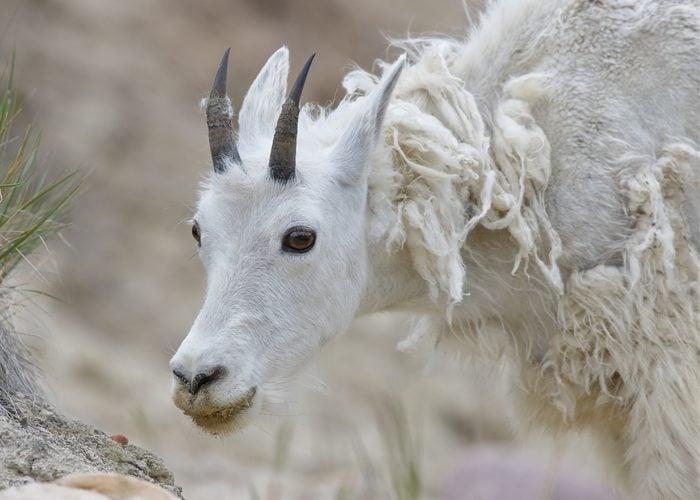 Closeup of a Mountain Goat (Oreamnos americanus) shedding its winter coat - Jasper National Park, Alberta, Canada