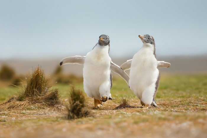 Two young gentoo penguin chicks happily running on the grass field in the Falkland islands. Wildlife and its behavior.