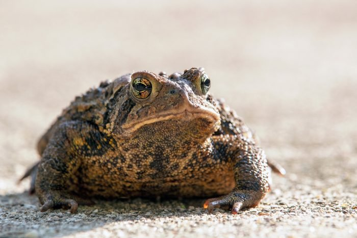 Big toad close up on a gray background, showing the detail of his face and warts. American Toad, Bufo americanus with space for copy. Concepts of wildlife, wild animals, funny animals