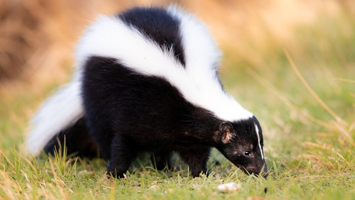 Skunk in Grass, Warm Colors