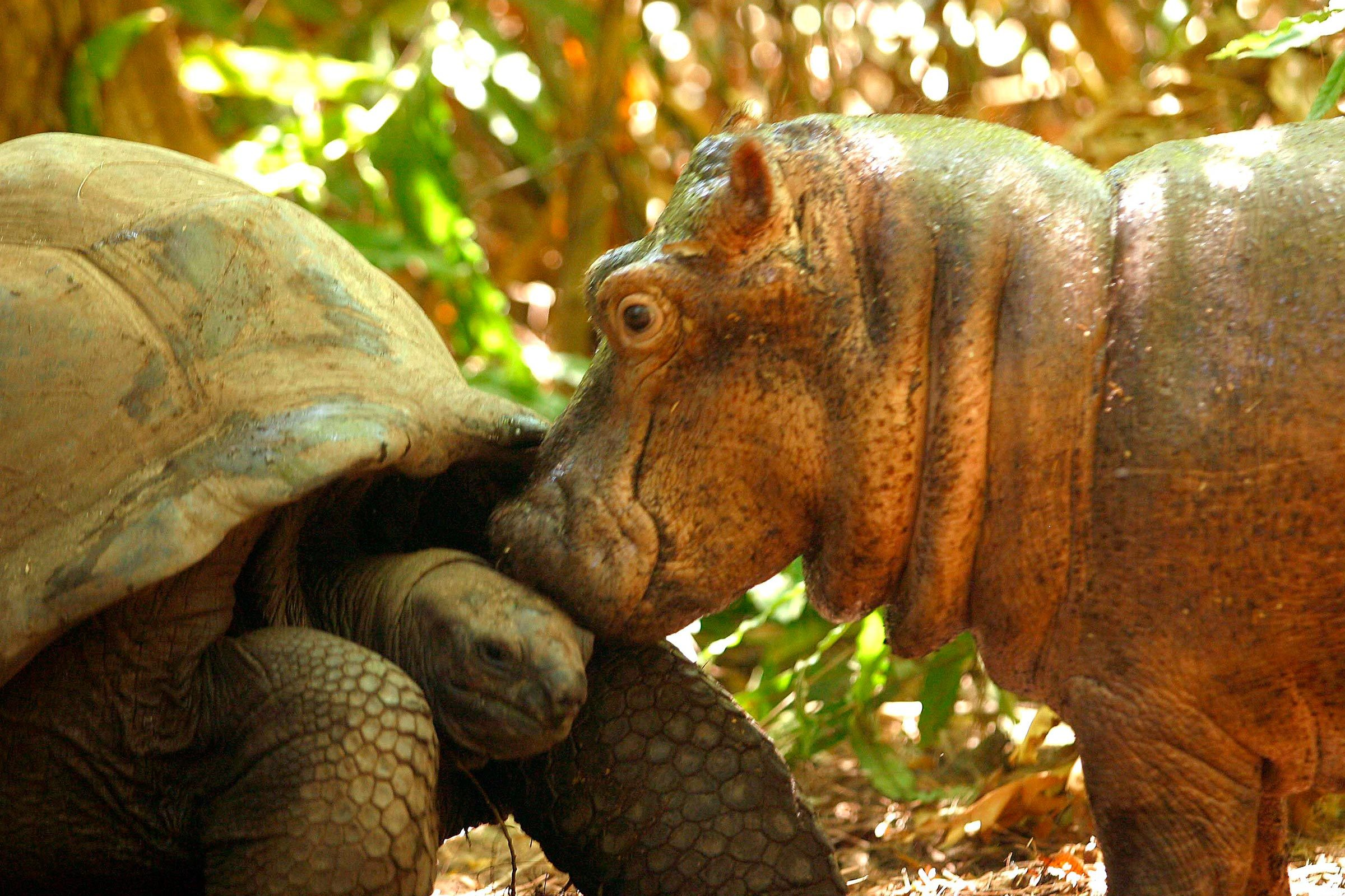 Ancient tortoise and baby hippo